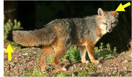 Coyote Fox Hybrid